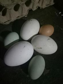 鸡鸭鹅蛋三种颜色,我家三只鹅每天都下一颗蛋