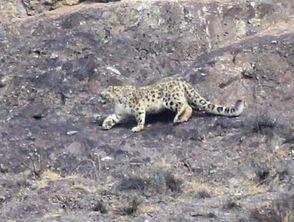 博狗bf88-原标题:新疆拍到中国首张高清雪豹捕食照   本报讯( )