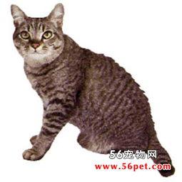 胁腹上无斑块.条纹形虎斑亚洲猫身上斑纹数量少很多.而斑点型虎斑...
