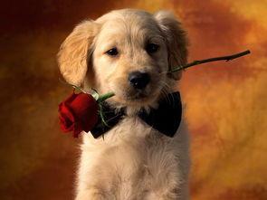 ...壁纸,就是叼着玫瑰花带着黑领结的那张