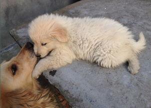 出售母金毛与公萨摩耶犬串串2个月一口价500元1只