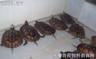 石金钱龟有几种