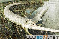 俗话说,人心不足蛇吞象.蛇吞象没人见过,但蛇吞鳄鱼却有一个实例...