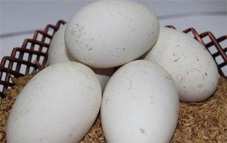 鹅蛋的营养价值 吃鹅蛋的好处