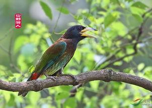 大拟啄木鸟的故事 系列二 贺图1获首页精华图片