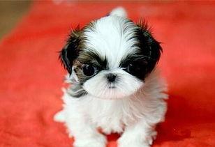 犬舍出售纯种西施犬 纯种西施犬多少价钱 西施犬图片