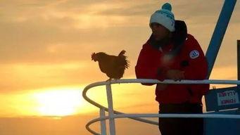 一只鸡的奇幻旅程,看完觉得活得不如鸡