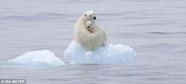 limbo蜘蛛追着过河-一只北极熊妈妈栖息在北冰洋的一座小岛上抚慰着它的孩子,小北极熊...