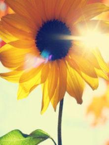 向阳花 来自花田婆婆的图片分享 堆糖