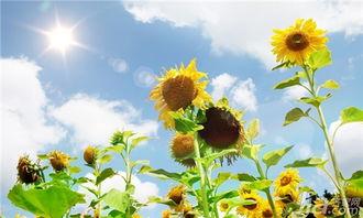 向日葵花语是什么 向日葵的花语全面解析