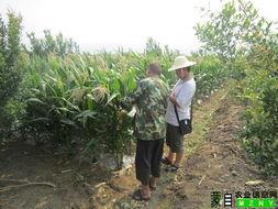 ...杂交玉米品种 蒙玉3号 亲本提纯复壮工作. -红河农业信息网