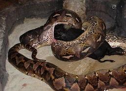 蛇女尿道口吞人本子-巨型蟒蛇大揭秘 张嘴可吞下人 13  巨型蟒蛇大揭秘: 张嘴可吞下人