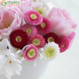 沽心-津沽园艺 花卉种子 雏菊 塔苏 混色