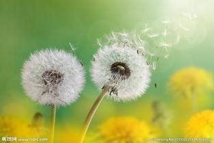 风中摇曳的蒲公英花图片