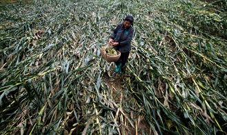 妇女在被大水冲倒的玉米地里摘玉米