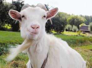 艹狗图片图库-中国图片库羊-中国羊年究竟是啥羊