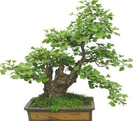 银杏树盆景价格,银杏树盆景养殖方法