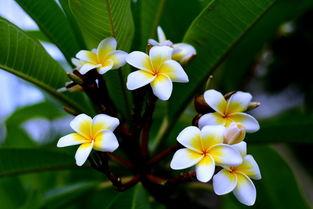 每一串花序抽出的花渐次开放,而不同的枝条也先后开花,经久不衰,...