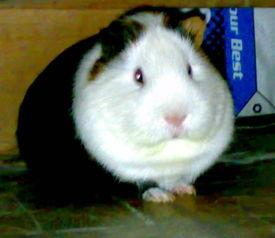 天竺鼠的图片