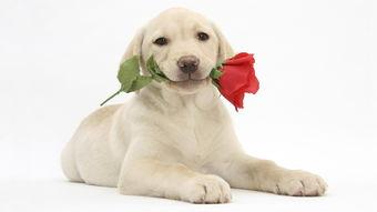 拉布拉多可爱狗狗图片电脑桌面壁纸下载