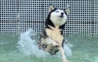 二货哈士奇是怎么来的 难道真是狼和狗OOXX...生的