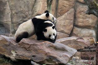 中国大熊猫在法国动物园正式和游客见面
