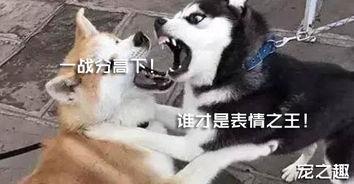 哈士奇与柴犬的世纪大对决 谁才是表情之王