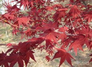 日本红枫盆景制作方法及养护