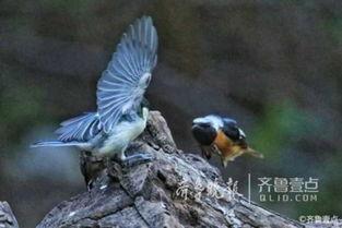 情报站 济南南山竟有这么漂亮的小鸟