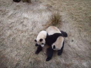 ...大熊猫笨拙求爱交配全过程 10
