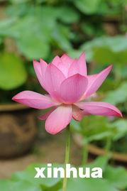 花荫露-1. 世界上最大的荷花――