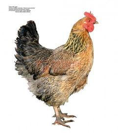 丰满肥熟农村老鸡-研究人员利用未孵化的鸡胚胎,分别在胚胎形成睾丸和卵巢前,通过手...