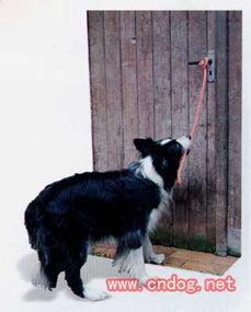 ,这样可以防止狗夹着自已的爪子,在它明白自己需要做什么后就不用...