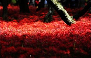 又因其红的似火而被喻为