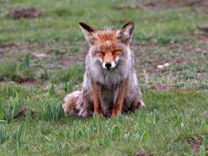 肉目犬科狐属的孟加拉狐   欣赏食肉目犬科狐属的阿富汗狐   欣赏食肉...