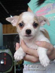 100元的吉娃娃狗-...大头金毛一对,吉娃娃2只 公的