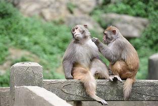 ...庆统景峡猿百猴过河 令人啧啧称奇