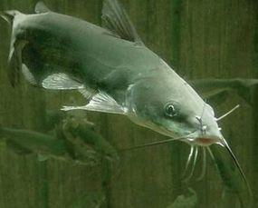 鲶鱼养殖技术及鲶鱼常见疾病防治技术