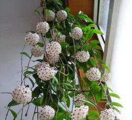 球兰花,很漂亮,也很香,我想知道有没有毒,开花的时候对身体有害吗