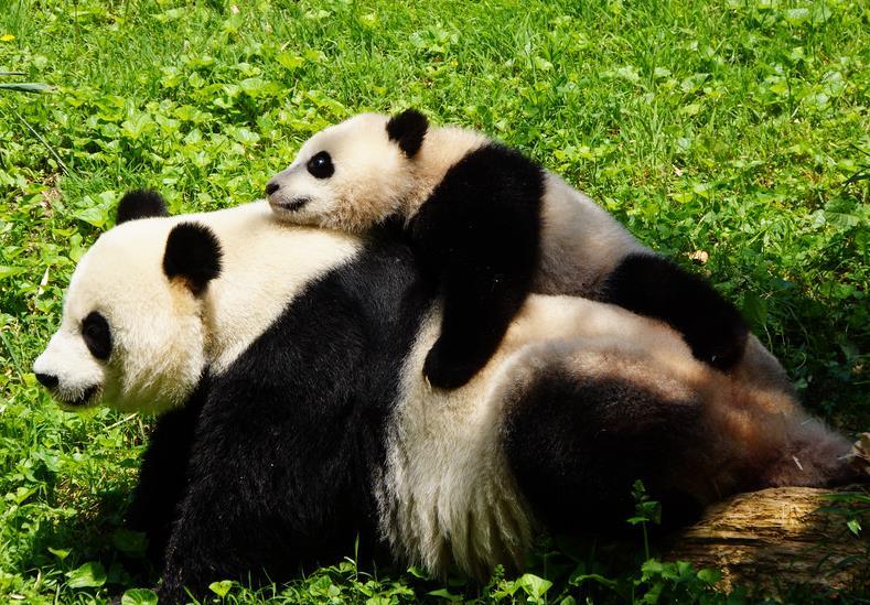 法国zoo儿童-...闻 华盛顿国家动物园准备为熊猫 宝宝 庆生