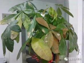 发财树叶子老出现黄斑 黑斑 莫要急,这些防治方法效果显著