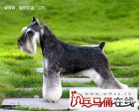 标准型雪纳瑞犬怎么养 标准型雪纳瑞犬的智商及价格