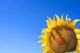 高清蓝天下的向日葵花朵图片素材下载6