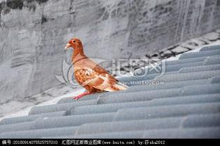屋檐上的鸽子