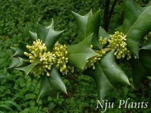求一种叶子长6条刺的植物名字