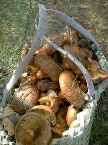 网络疯传 食用蘑菇死人 谣言