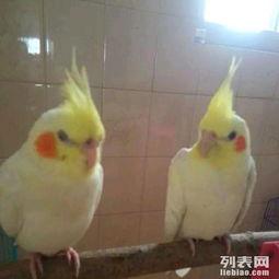 求购一只和尚鹦鹉鸟或鹩哥