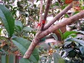 剪红花步骤-4、桂花树间隔较密的内膛弱枝可考虑剪去,红叉部分为修剪提示.   ...