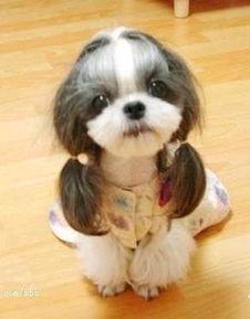 上海哪里有卖西施犬 西施犬图片价格 西施犬标准规格