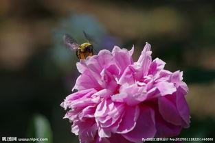 芍儿花-美丽的芍花图片